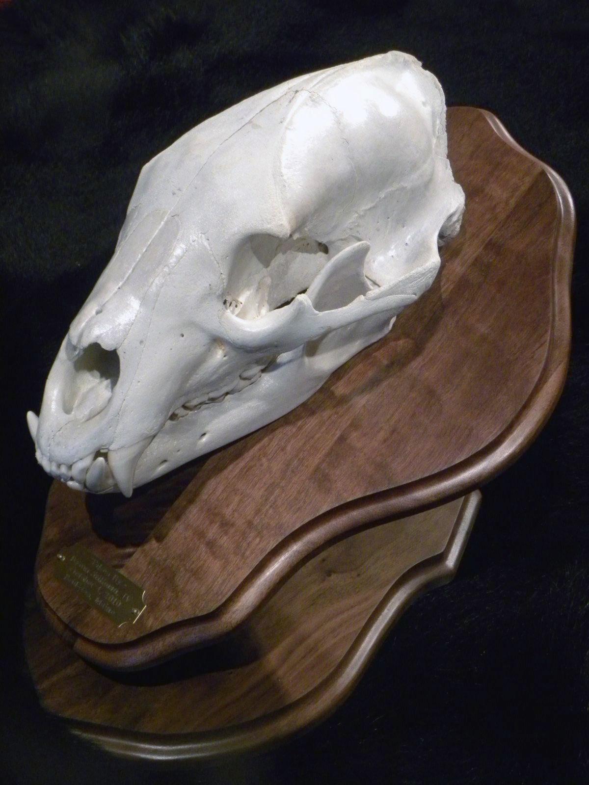 european bear skull pedestal mount